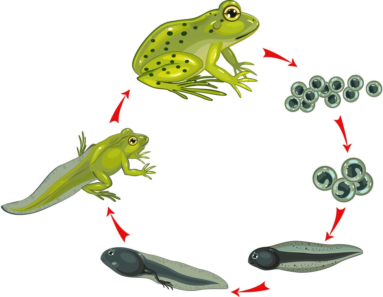 Этапы развития лягушки в картинках